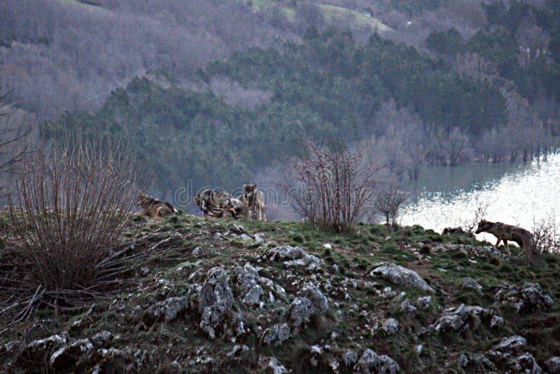 Wolfskudde royalty-vrije stock foto
