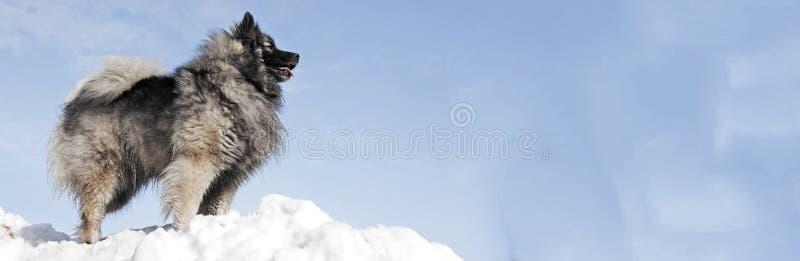 Wolfsspitz del cane - immagine di riserva fotografia stock