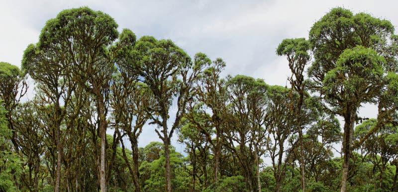 Wolken bosbomen in de hooglanden van Santa Cruz stock foto