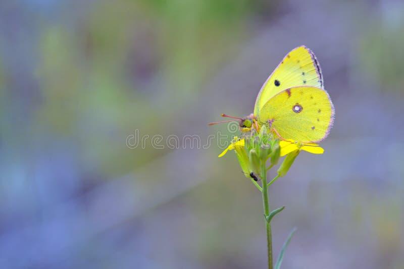 Wolkenlose Schwefelschmetterling Phoebis-sennae auf Blume lizenzfreies stockbild