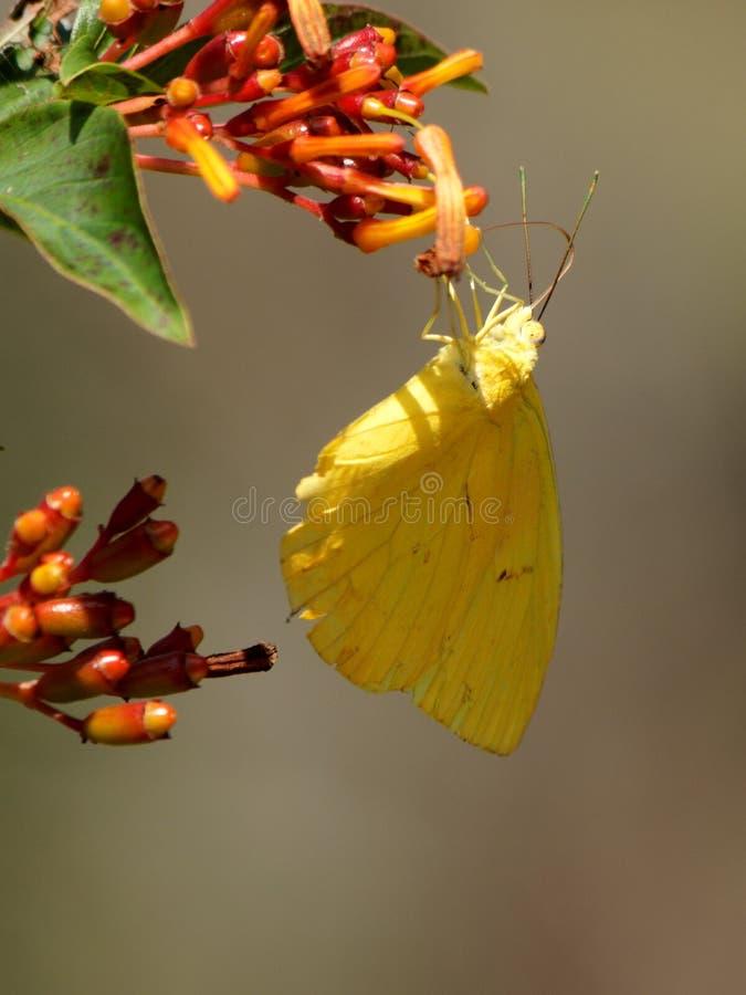 Wolkenloser Schwefel-Schmetterling, der Nektar sammelt stockbild