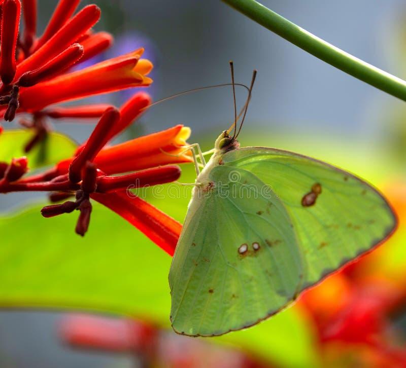 Wolkenloser Schwefel-Schmetterling, welche an Nectar From Firebush Flower, Seminole, Florida 2 nippt lizenzfreie stockfotografie