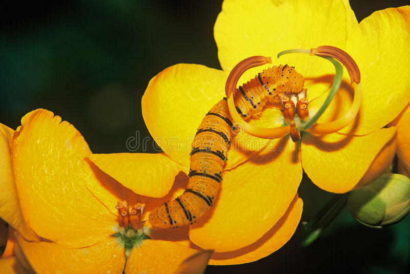 Wolkenloze reuzezwavel Caterpillar: Phoebissennae stock afbeeldingen