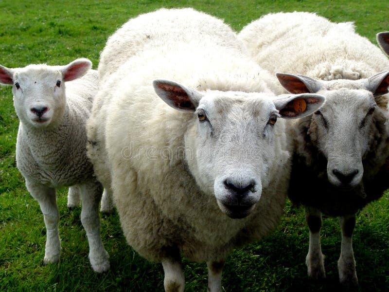 Wollefamilie stockfotos