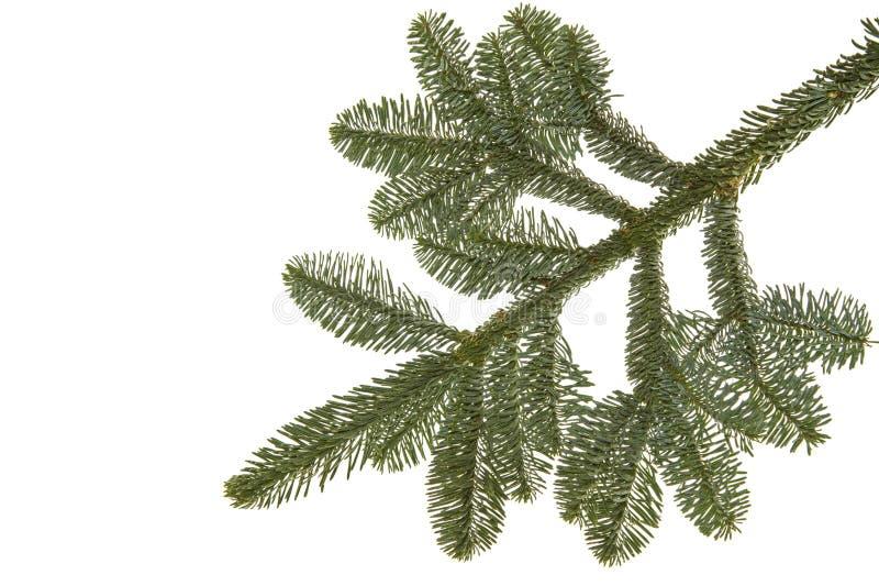 Wollemia nobilis在白色的结构树枝杈 库存例证