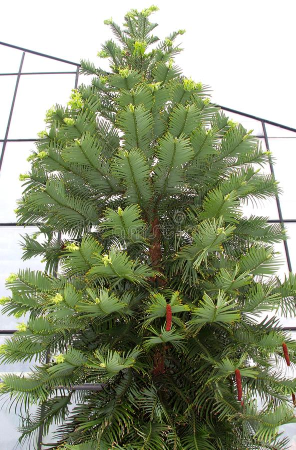 Wollemia Nobilis树 库存照片