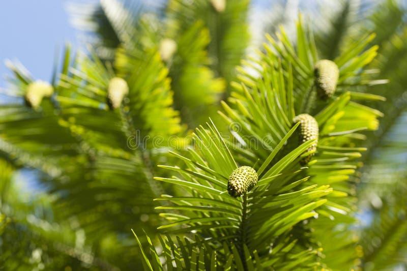 Wollemia-nobilis Detail von Blättern und von Kegeln stockbilder