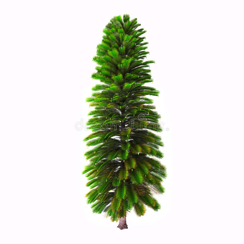 Wollemia Nobilis drzewo obraz royalty free