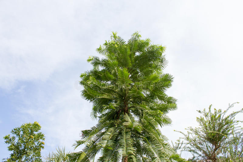 Wollemia (Wollemia nobilis) 免版税图库摄影