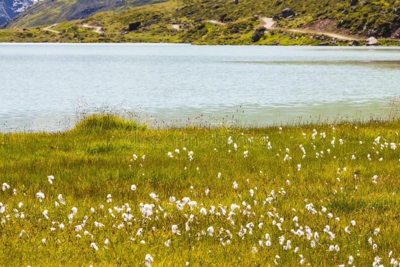 Wollgras durch See lizenzfreies stockbild