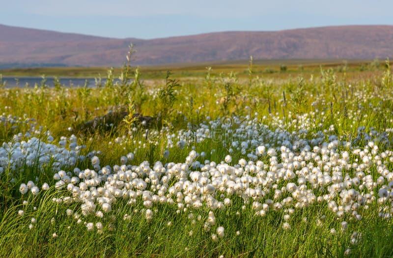 Wollgras gegen Hintergrund von Bergen und von Seen, polare Urals lizenzfreie stockfotos