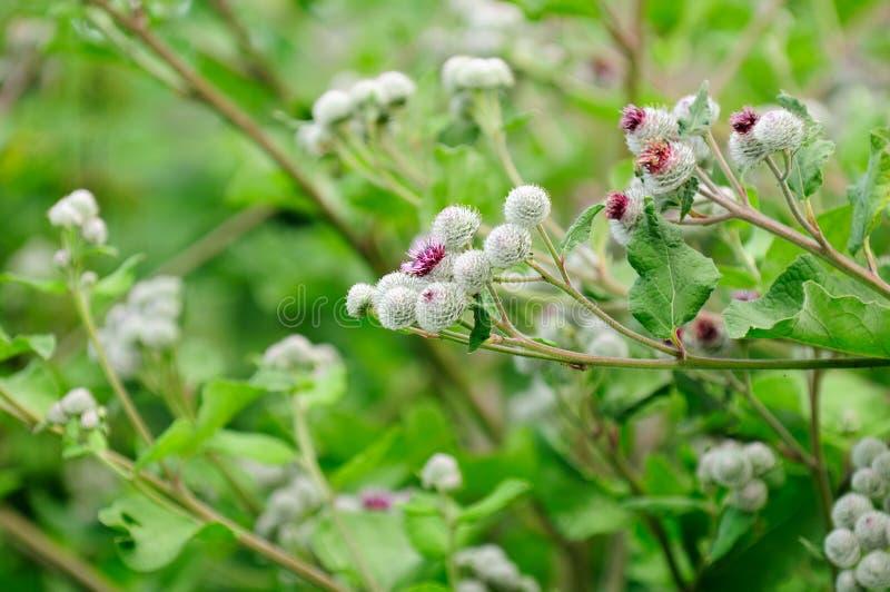 Wollige Klis (Arctium Tomentosum) royalty-vrije stock fotografie