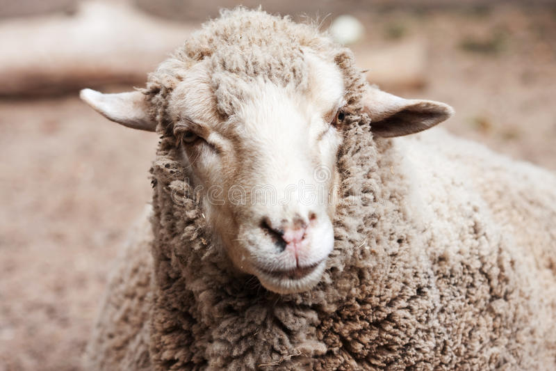 Wollige schapen in dierentuin stock afbeelding