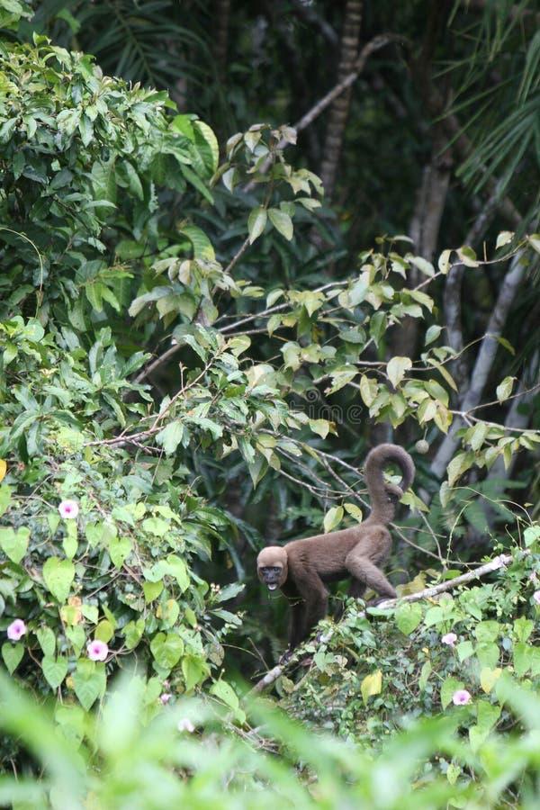 Wolliger Fallhammer in Amazonas lizenzfreie stockfotografie