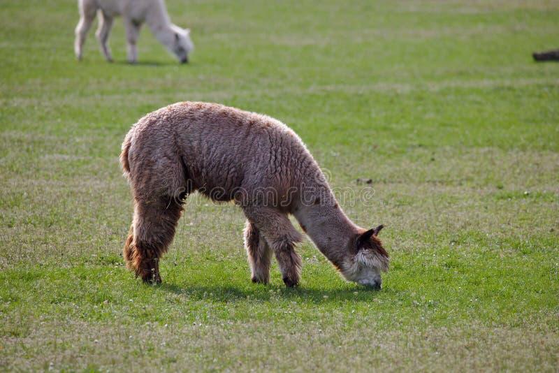 Wolliges, braunes Alpaka, das auf einem grünen Gebiet weiden lässt lizenzfreie stockfotografie