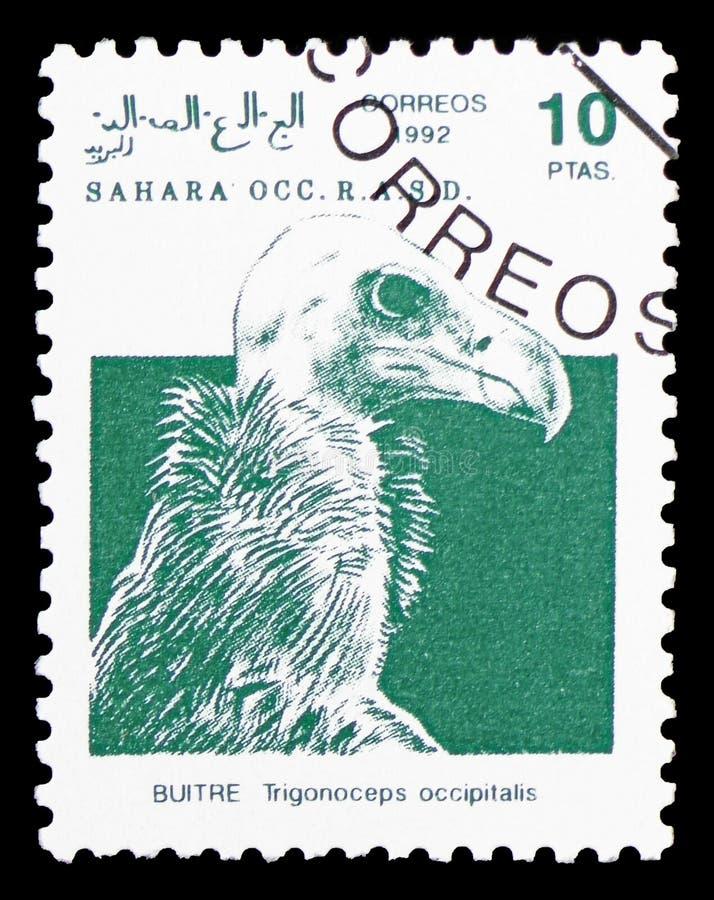 Wollkopfgeier (Trigonoceps-occipitalis), Sahara Occ serie, circa 1992 lizenzfreie stockbilder