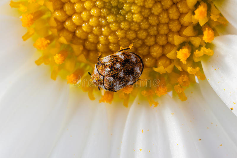 Wollkrautbluetenkäfer auf einem Gänseblümchen stockfoto