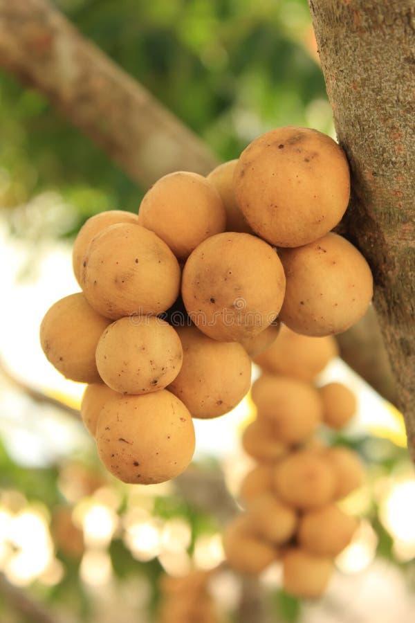 Wollongong frukt Thailand. royaltyfri foto