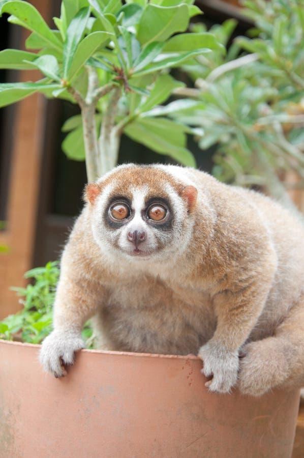 wolna loris małpa obraz stock