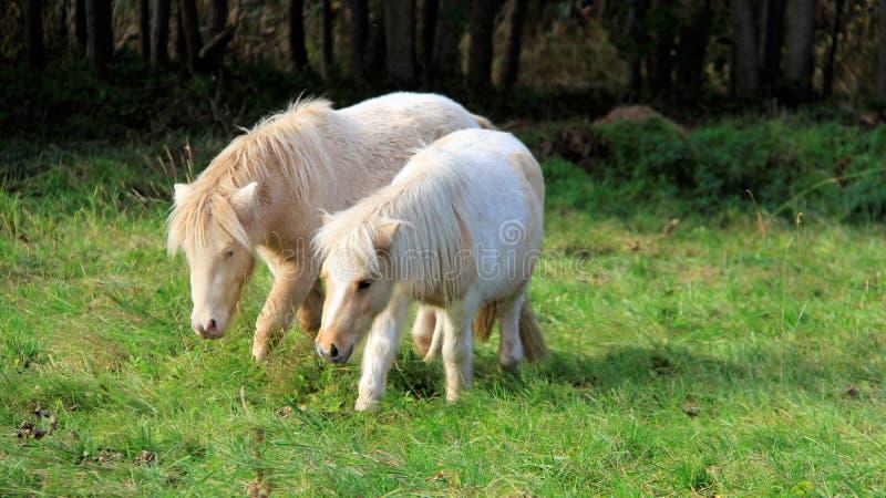 Wolność Dwa Biały koń Na wypasie zdjęcie stock