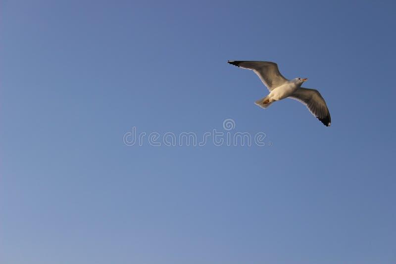 Wolność seagull zdjęcia royalty free