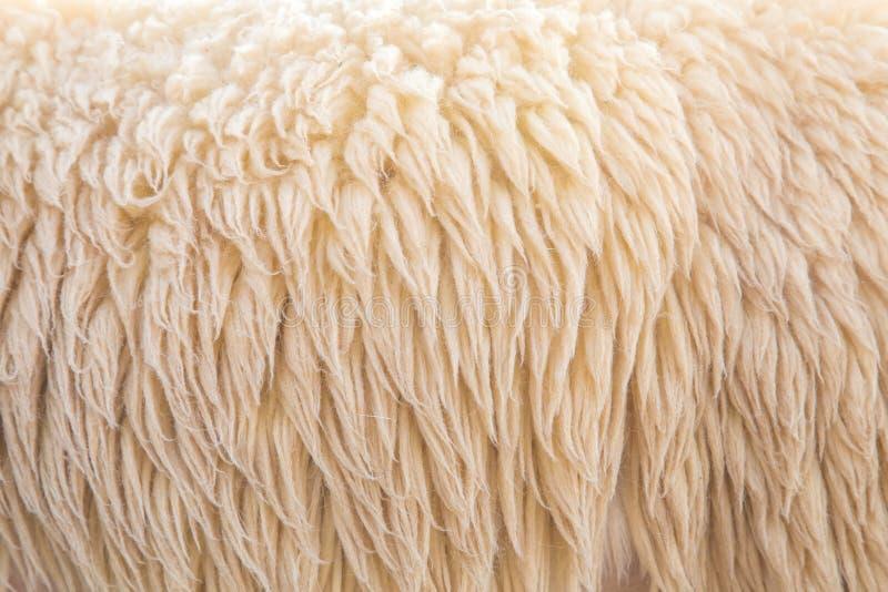 Wolschapen royalty-vrije stock foto