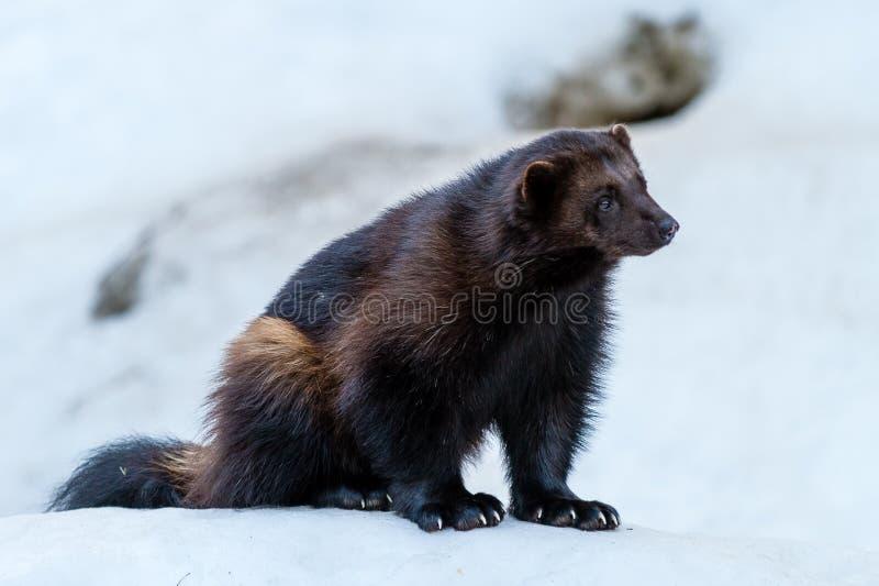Wolverine royalty-vrije stock afbeelding