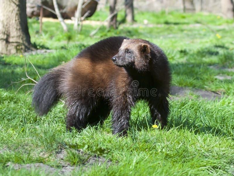 Wolverine imagen de archivo