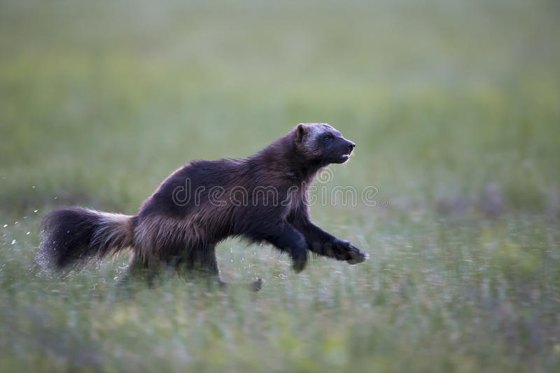 wolverine immagine stock