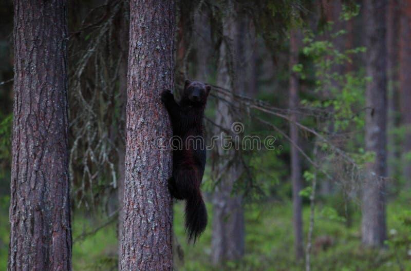 wolverine stock afbeeldingen