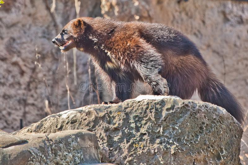 Wolverine is a ferocious wild northern animal on a rock. Wolverine is a ferocious wild northern animal standing on a rock royalty free stock photography