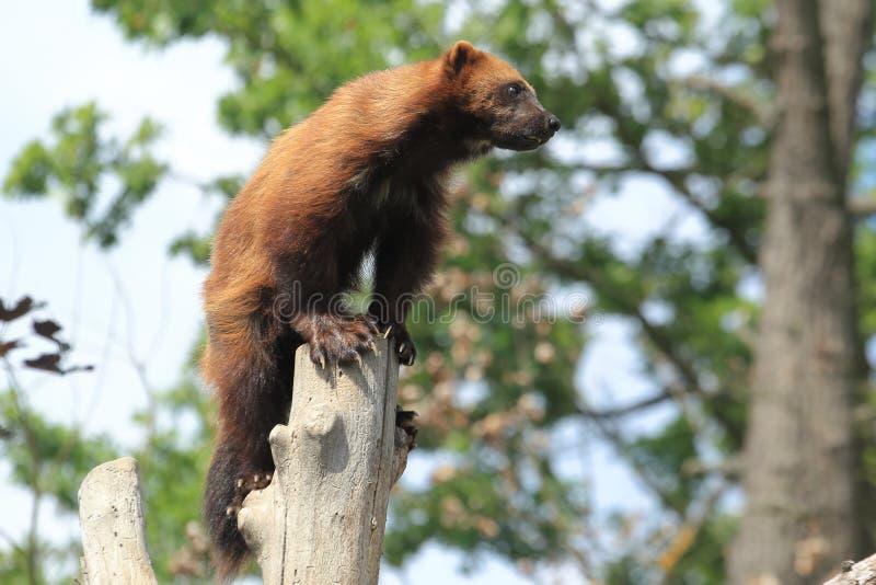 Wolverine på stolpen fotografering för bildbyråer