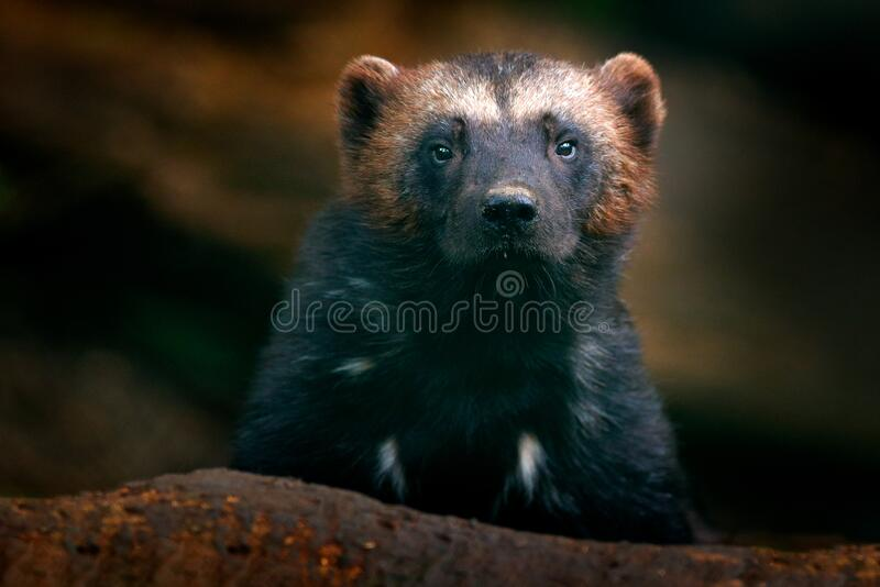 Wolverine portrait. Detail close-up of wild animal. Wolverine in Finland taiga. Dangerous animal in the forest. Raptor in the. Nature. Wildlife scene from stock images