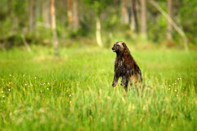Wolverine que está no taiga finlandês Cena dos animais selvagens da natureza Animal raro ao norte de Europa Wolverine selvagem no fotos de stock