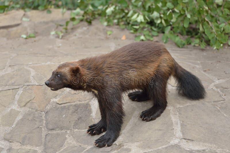 Wolverine salvaje imagen de archivo libre de regalías