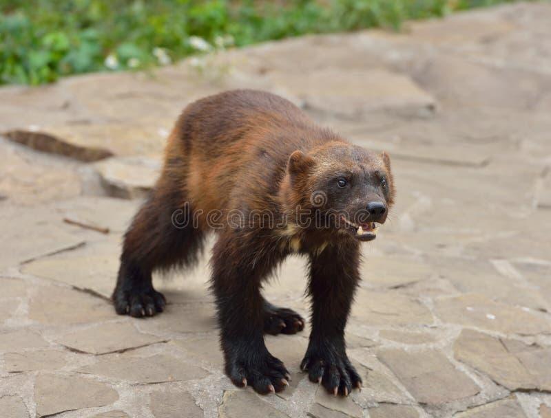 Wolverine selvaggio immagini stock libere da diritti