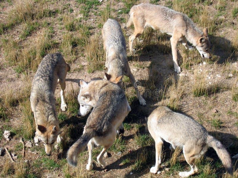 wolves royaltyfria bilder