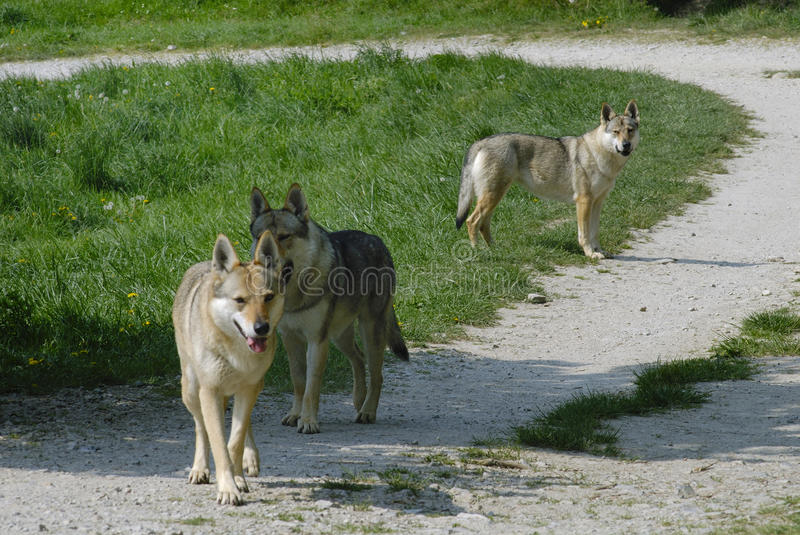 Download Wolves stock photo. Image of lawn, wolf, solitary, predator - 14052686