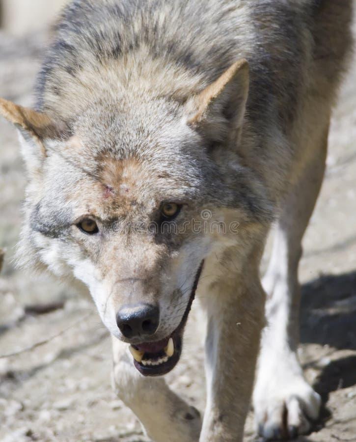 wolves fotografering för bildbyråer