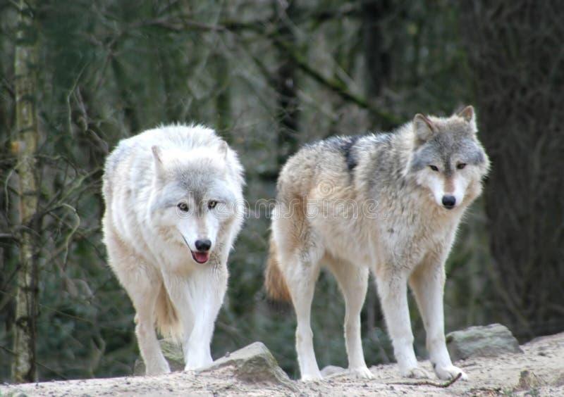 wolves arkivfoto