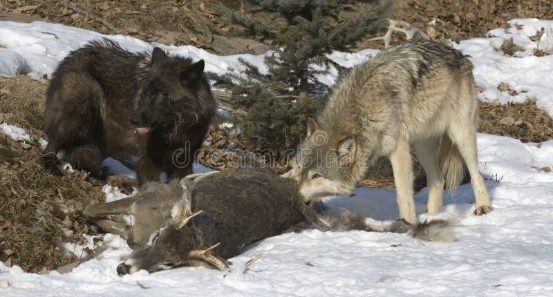 Wolves on deer kill