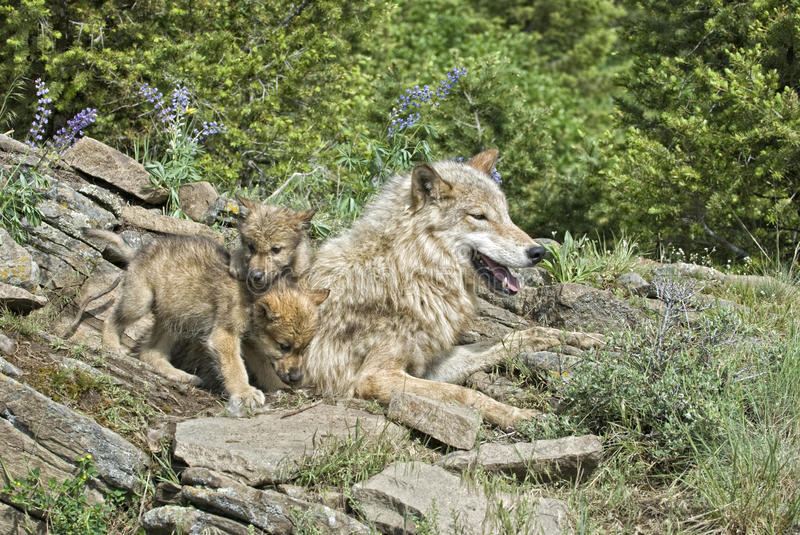 Download Wolves at den site stock photo. Image of wolves, three - 12105496