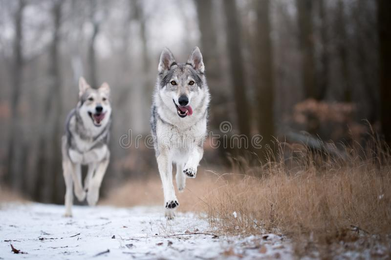 Wolves in forrest in winter stock image