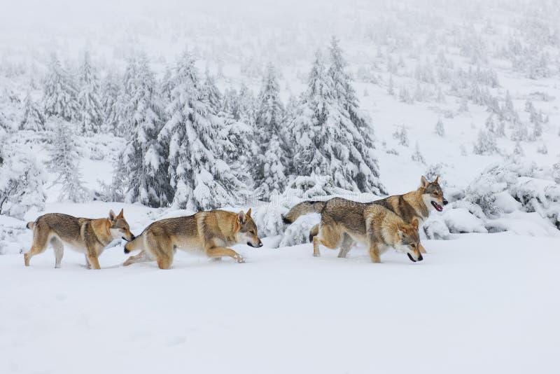 Wolves i snowen arkivbild