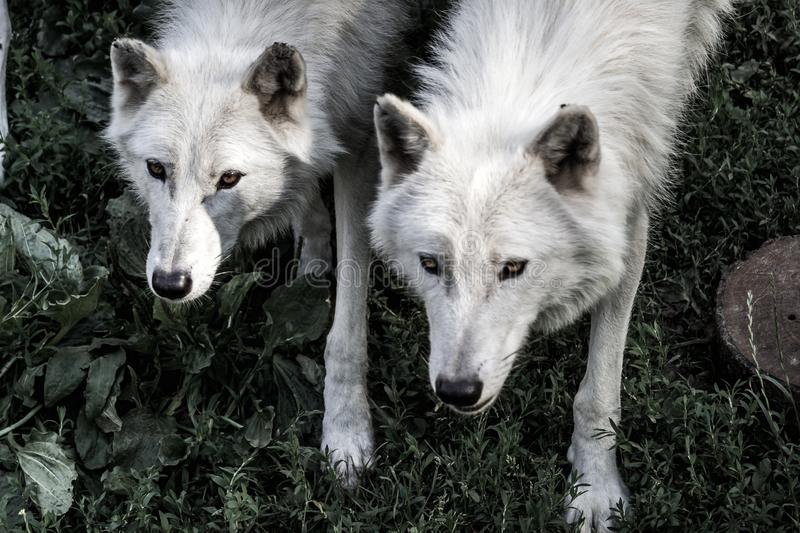 2 wolves royalty free stock images