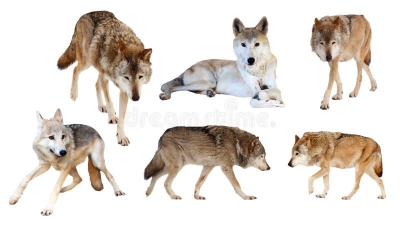 Wolves på vit bakgrund royaltyfri bild