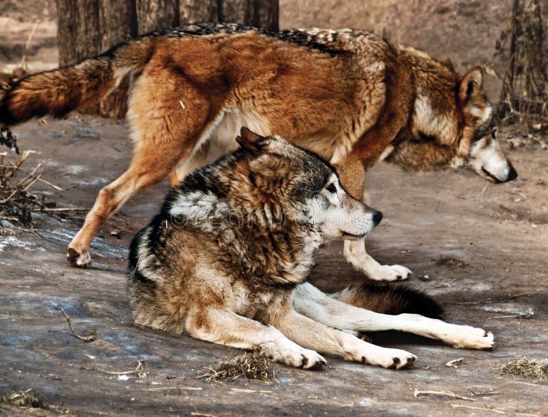 wolves arkivbild