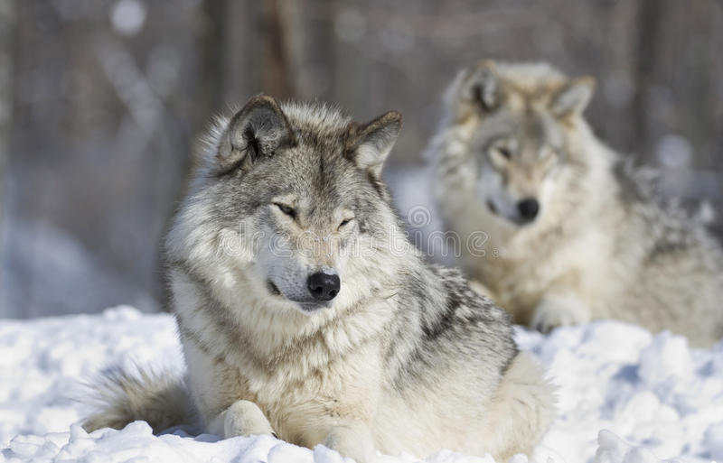 Wolves resting. In nature during winter stock images