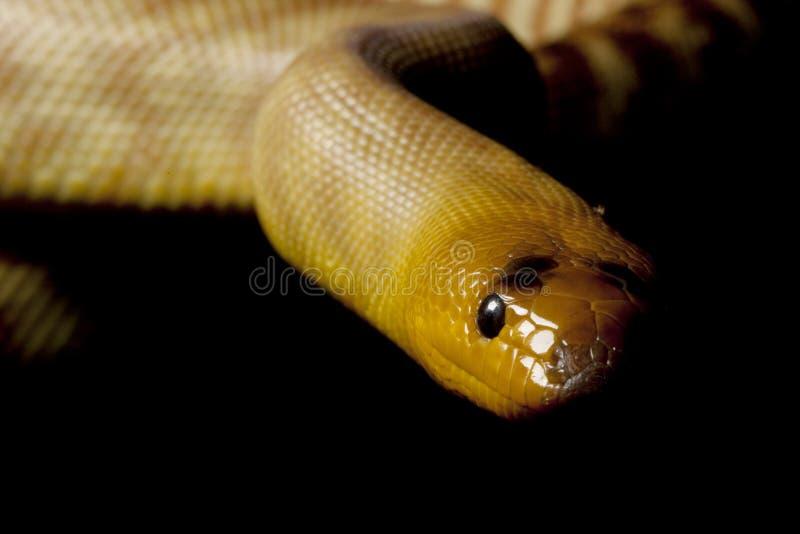woma de python photo stock
