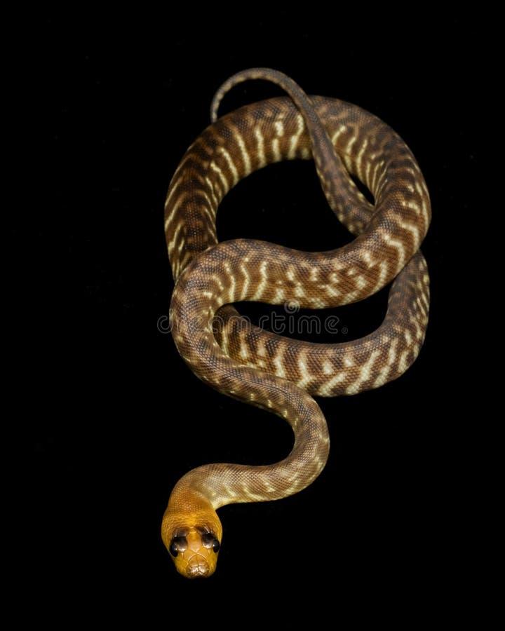 woma de ramsayi de python d'aspidites photographie stock libre de droits